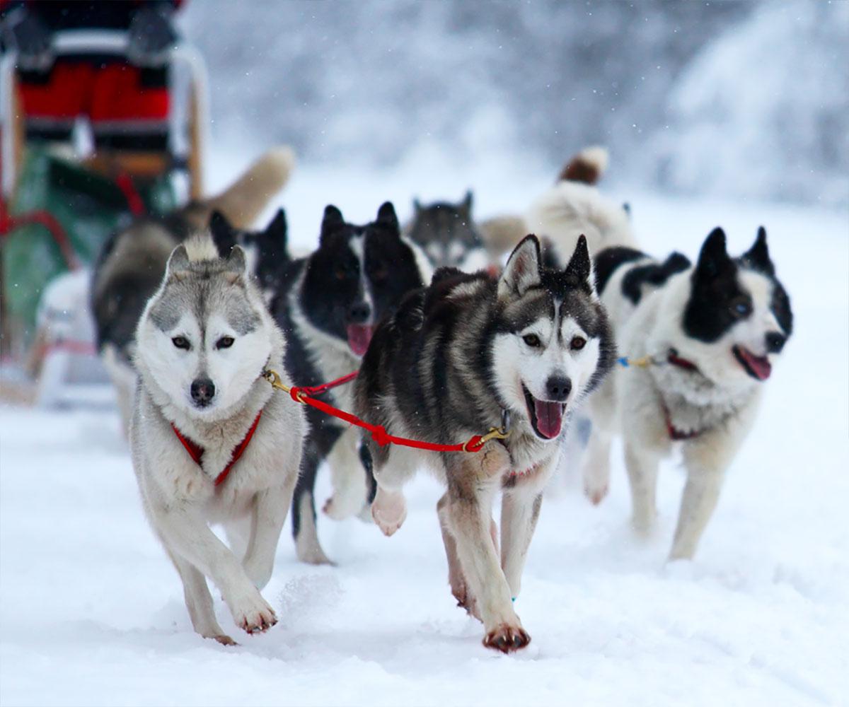 dog-sledding-buena-vista-salida-colorado