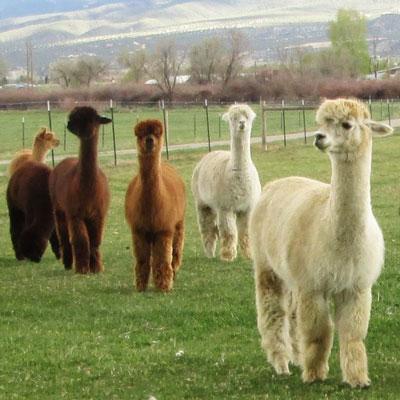 Hallmark Ranch Alpacas