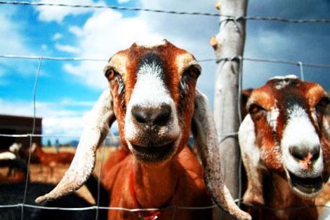 Jumpin' Good Goat Dairy